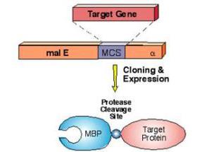 200-401-385-MALTOSE-BINDING-PROTEIN-MBP-EPITOPE-TAG-Antibody-1-PTH-4x3