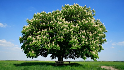 how to grow a chestnut tree from seed